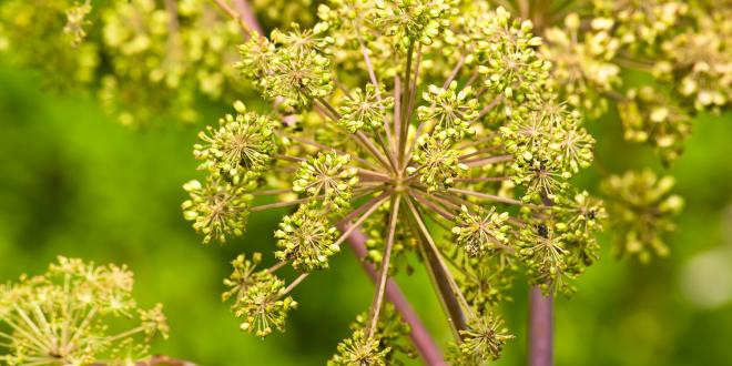Angelica medicine plant and food, a closeup of the flower.